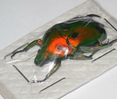 Heterorrhina Sexmaculata Imperatrix  Real Insect Indonesia Taxidermy
