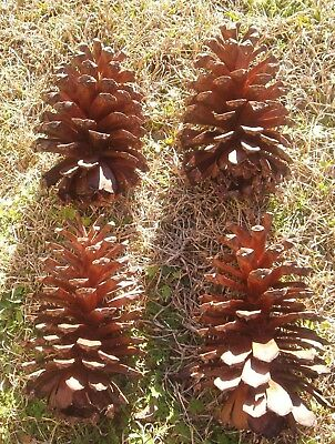 Pine Cones Large Jumbo S.e. Georgia Pine Cones All 9 To 10 Inches Long *lot Of 4
