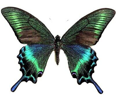 One Real Butterfly Blue Green Papilio Maacki Spring Form Wings Closed