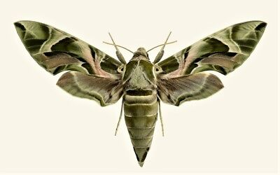 One Real Sphinx Moth Green Daphnis Nerii Sphingidae Unmounted Wings Closed