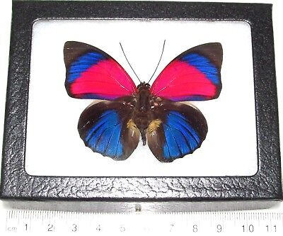 Real Framed Butterfly Pink Blue Agrias Sardanapalus