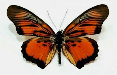 One Real Butterfly Red Orange Pseudoacraea Clarkii Rca Unmounted Wings Closed