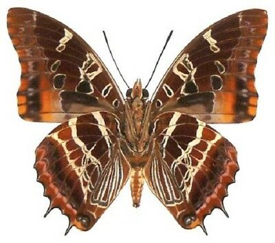 One Real Butterfly Red Orange Charaxes Eudoxus Verso Unmounted Wings Closed