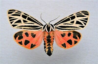 One Real Tiger Moth Pink Orange Grammia Virgo Ex Pupae Nc Unmounted Wings Closed