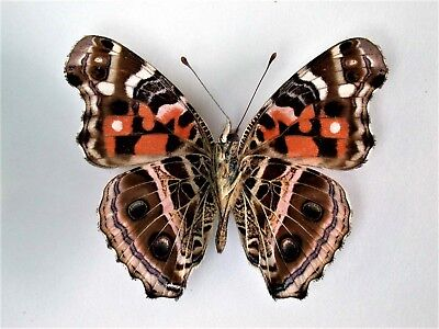 One Real Butterfly Painted Lady Vanessa Myrinna Unmounted Wings Closed