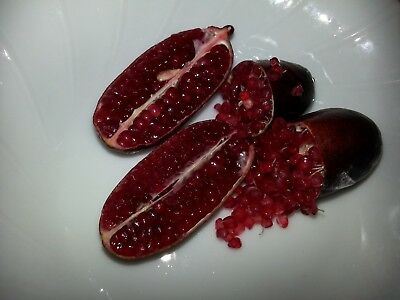 Finger Lime Plant ~ Rare Deep Red, 15 Months Seed Grown Plant