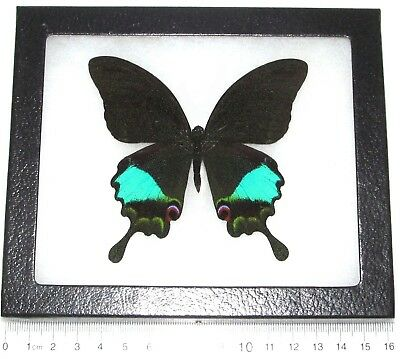 Real Framed Butterfly Blue Green Papilio Paris Swallowtail Indonesia -Antennae
