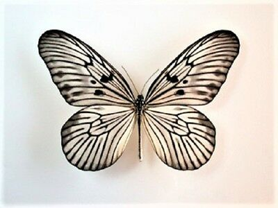 One Real Butterfly Black White Idea Blanchardi Indonesia Unmounted Wings Closed