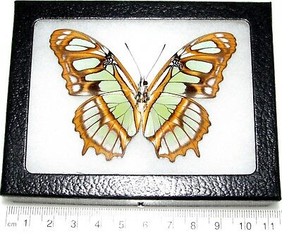 Real Framed Butterfly Green Siproeta Stelenes Malachite Peru Verso
