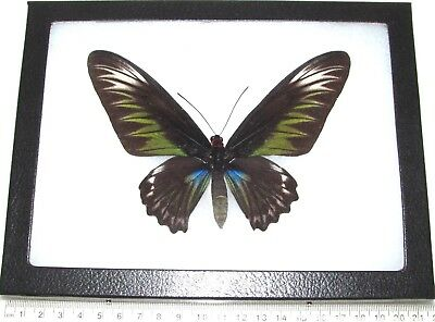 Real Framed Butterfly Green Trogonoptera Brookiana Birdwing Female