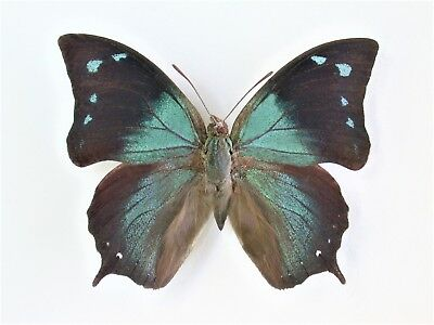 One Real Butterfly Blue Anaea Unmounted Wings Closed Peru