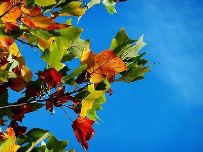 Stunning Autumn Tree Leaves Canvas Picture Poster Print Wall Art Unframed #2269