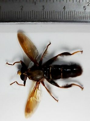 Diptera sp1 from East Java Indonesia