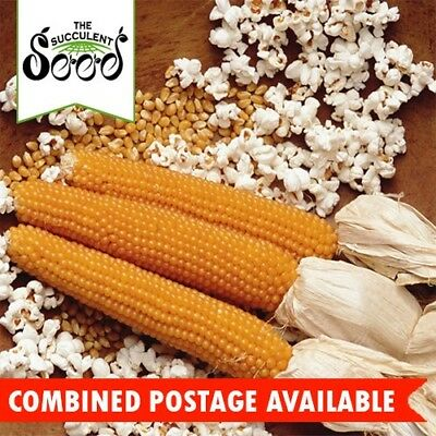 CORN - Popping Corn (150 Seeds) EASY GROW PLANT FOR POPCORN