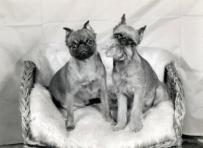 Vintage Photo~2 Brussels Griffon Dog Dogs~Smooth & Wire Haired~NEW Lg Note Cards