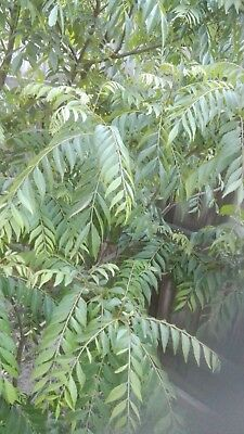 CURRY LEAVES 100g MUST BE PICKED FROM A TREE,HERBS /SPICES ,TO BE PICKED UP ONLY