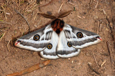 One Real Moth Agapema Anona Male Arizona Unmounted Wings Closed