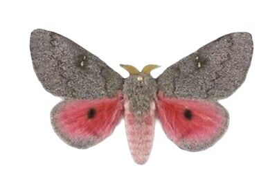 One Real Saturn Moth Pink Sphingicampa Hubbardi Unmounted Wings Closed