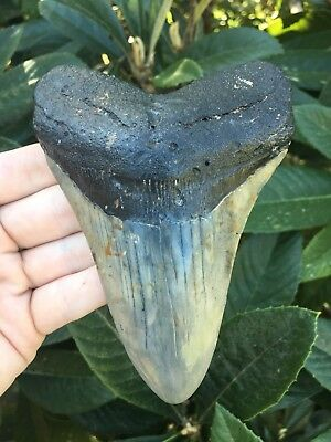 Huge 5.03 Inch Megalodon Tooth Fossil Shark Teeth