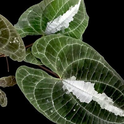 Discorea Discolor~## VARIEGATED ORNAMENTAL YAM ##~Indoor to full sun~1 Plant