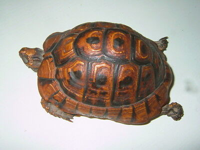 Tortue taxidermie ancienne