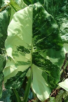 Alocasia Macrorrhiza variegata  - a Strikingly Marked Variegated Elephant Ear