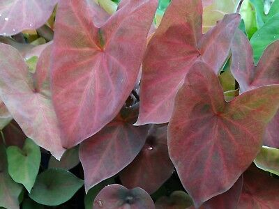 60 - Caladium with Reddish Bronze Leaves and Deep Pink Veins