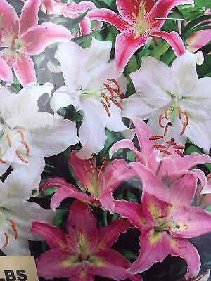 Lilium Bulblets - Mixed Colours - Asiatic And Oriental Varieties 50+ Bulblets