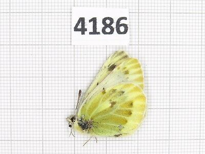 Butterfly. Colias sp? Qinghai, Dulan, Chacha village. 1M. Rare offer. 4186.