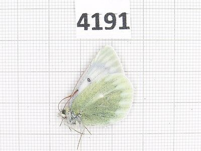 Butterfly. Colias  nebulosa ssp? S of Gansu, Xiahe. 1F. Rare offer. 4191.