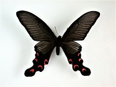 One Real Butterfly Pink Red Papilio Elwesi Unmounted Wings Closed