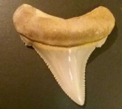 Collector angustidens shark tooth