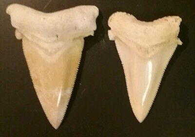 2 Collector angustidens shark tooth. See my other listings for combined shipping
