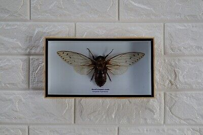 Rare Giant Clear Wing Cicada Taxidermy Beetle In Wood Box Home Decoration