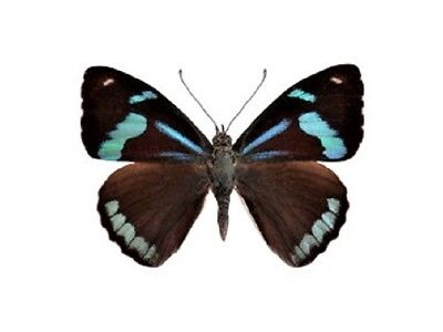 One Real Butterfly Blue Perisama Euriclea Recto Unmounted Wings Closed