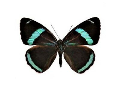 One Real Butterfly Blue Dieathria Clymena 88 Unmounted Wings Closed