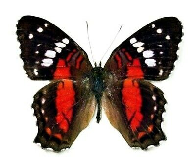 One Real Butterfly Red Anartia Amathaea Unmounted Wings Closed
