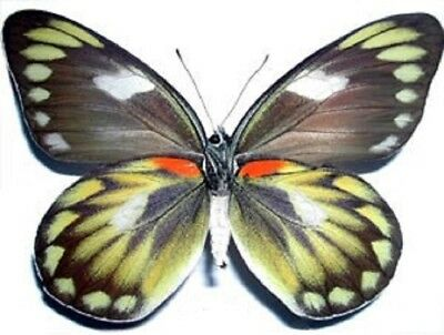 One Real Butterfly Delias Zebuda Female Verso Unmounted Wings Closed Indonesia
