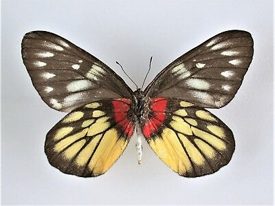 One Real Butterfly Red Yellow Delias Pasithoe Verso Unmounted Wings Closed