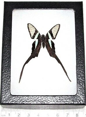 Real Framed Butterfly Glass Clear Wing Long Tails Lamproptera Malaysia