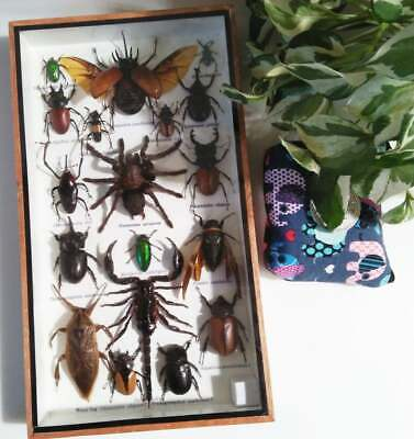 Real Mix Insect Bug Centipede Cicada Taxidermy Display Framed Box Big Set Gift 1