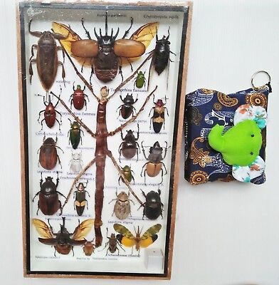 Real Beetle Mix Big Mounted Walking Stick Bug Insect Taxidermy Entomology Box #1