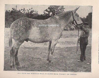 AWESOME VINTAGE 8 YEAR OLD 19 HAND MULE   ---- 1910 RARE  Print