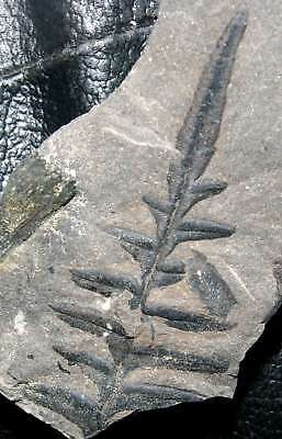 Very well preserved Carboniferous, Mississippian plant, Alethopteris davreuxi