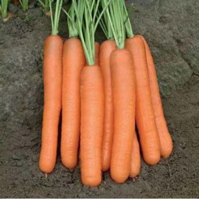 Seeds Carrot Tip-Top Red-Orange Giant Vegetable Organic Heirloom Russian Ukraine