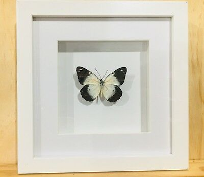 Frames Real Caper White Butterfly In A White frame , insect taxidermy
