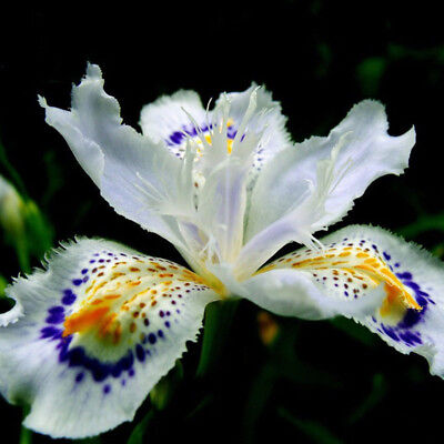 Japanese Iris Japonica Orchid Seed White Iris Orchid Flower Seed 20Pcs