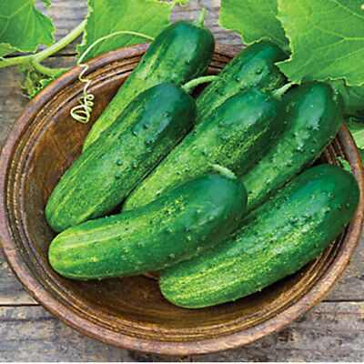 Seeds Cucumber Ira F1 Gherkin Pickling Vegetable Organic Russian Ukraine