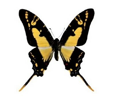 One Real Butterfly Yellow Eurytides Thyastes Swallowtail Unmounted Wings Closed