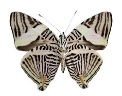 One Real Butterfly Black White Zebra Colobura Dirce Verso Unmounted Wings Closed